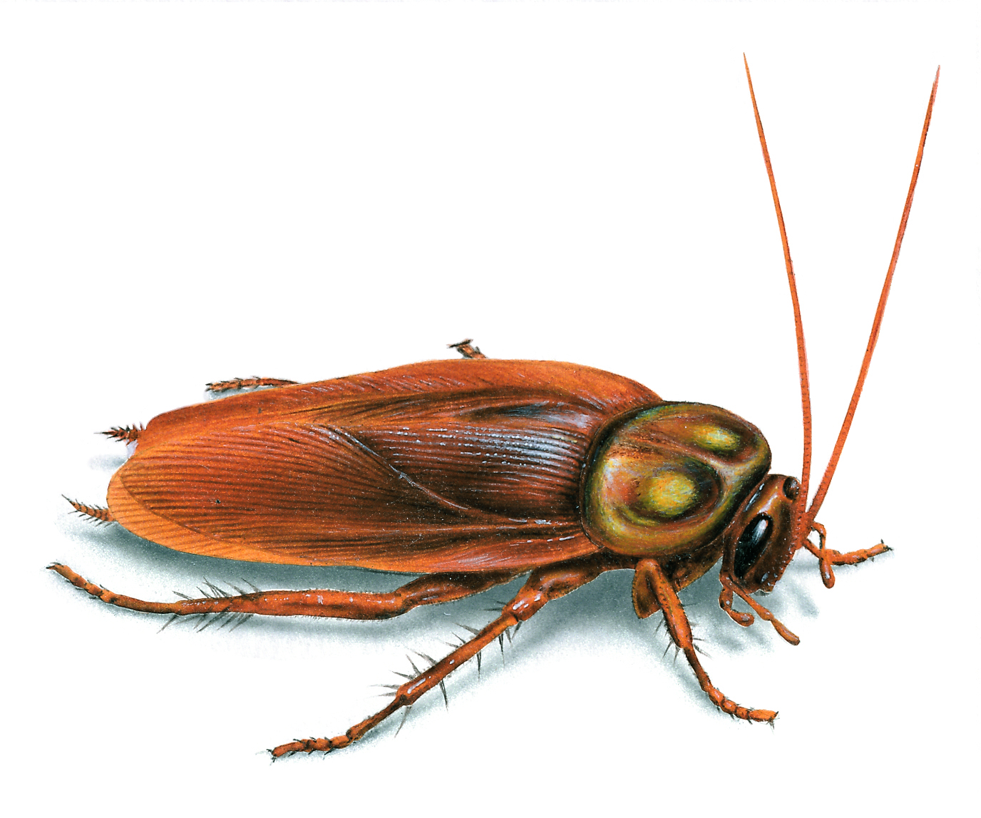 Exterminating Services | Cockroaches | Roaches | Westchester ...